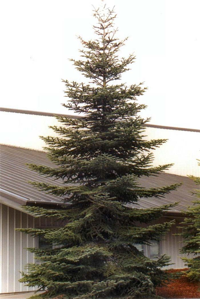 Plant photo of: Abies pinsapo