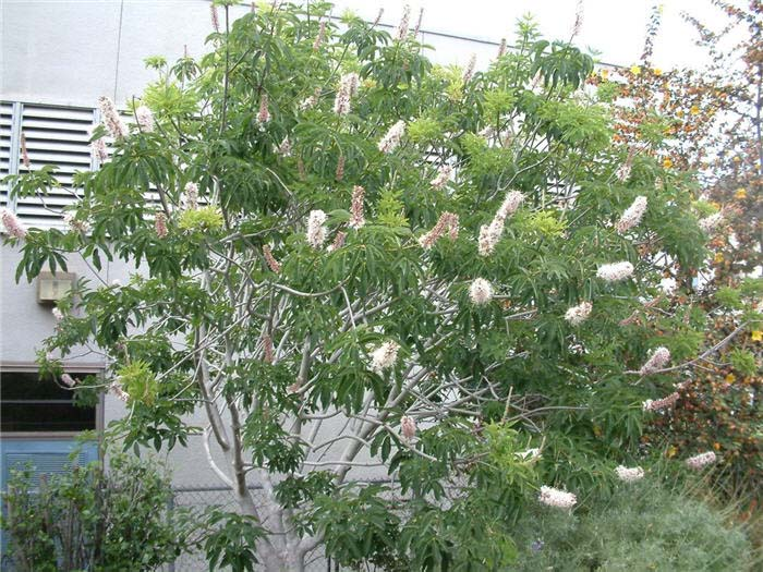Plant photo of: Actinidia arguta