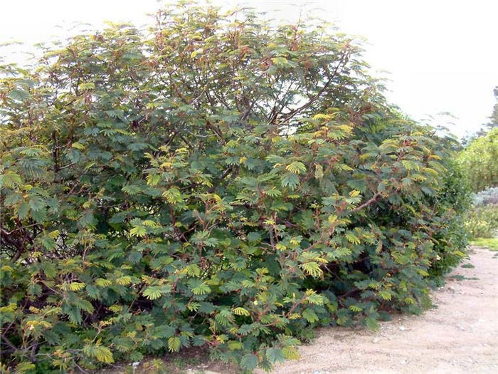 Plant photo of: Albizia distachya