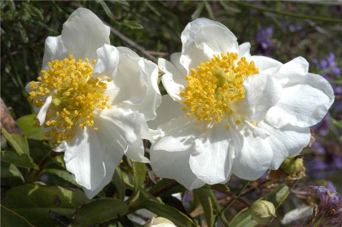 Plant photo of: Carpenteria californica 'Elizabeth'