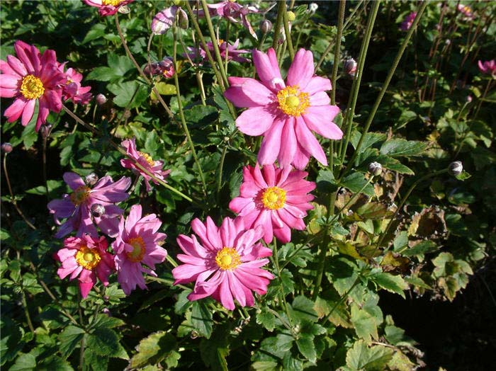 Plant photo of: Anemone X hybrida 'Margarete'