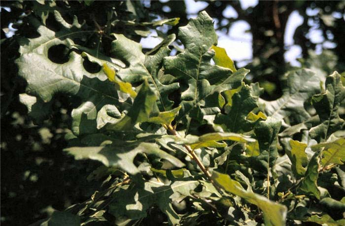 Plant photo of: Quercus macrocarpa