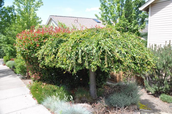 Plant photo of: Ulmus glabra 'Camperdownii'