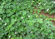 Redwood Sorrel, Oregon Oxalis