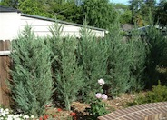 Juniperus scopulorum 'Skyrocket'