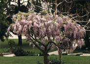 Wisteria, Japanese 'Lavender Pink'