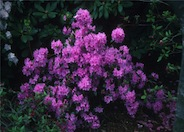 Rhododendron 'Little Olga'