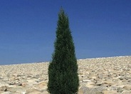 Cupressus sempervirens 'Tiny Towers'