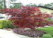 Japanese Maple, Red