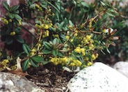 Berberis thunbergii 'William Penn'