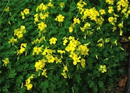 Bermuda Buttercup, Sour Grass