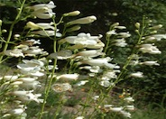 Penstemon spectabilis 'White'