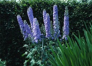 Delphinium elatum 'Blue Fountains'