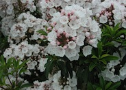 Mountain Laurel, Calico Bush
