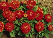 Zinnia, Red Peter Pan