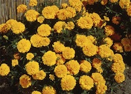 Tagetes erecta 'Lady'