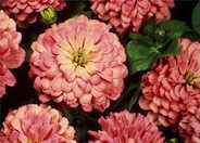 Zinnia, Common
