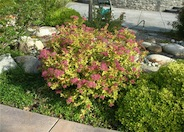 Spirea, Gold Flame