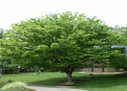 Saw-Leaf or Japanese Zelkova